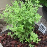 Using Oregano Oil for Common Problems