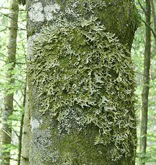 Lungwort Lobaria pulmonaria