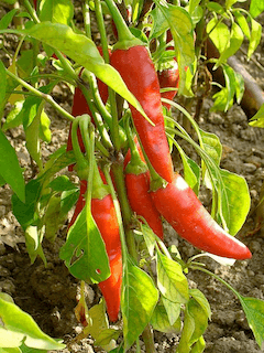 Spicy Foods Cause Hot Flashes