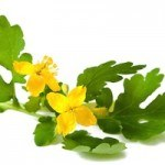 Health Benefits of Organic Greater Celandine