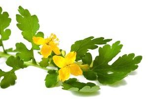 celandine plant