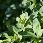 Benefits of Alfalfa Leaf