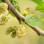 6 Health Benefits of Mulberries