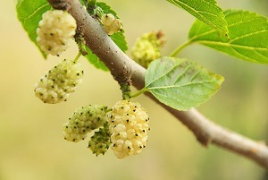 Morus alba mulberry tree and fruit