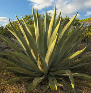 Agave nectar is a natural organic sweetener extracted from the agave plant.