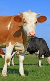 cow livestock