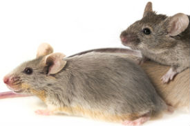 New Research: Soy Formula Affects Reproductive Development in Mice