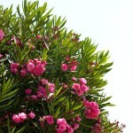 The Health Risks & Benefits of the Oleander Plant