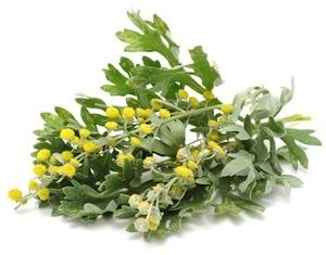 Wormwood Artemisia absinthium