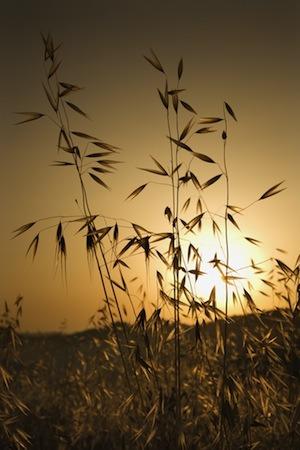 avena sativa wild oats