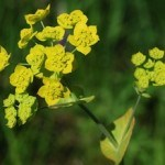 What is Bupleurum?