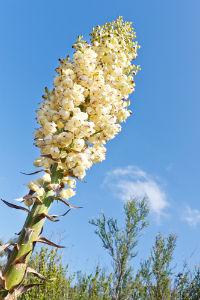 chaparral flower
