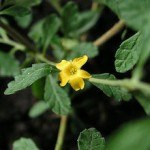 The Weight Loss Benefits of Damiana