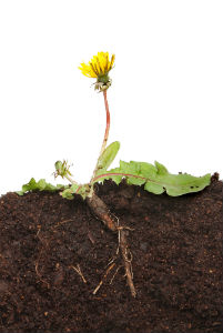 What Are The Health Benefits Of Dandelion Root