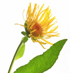 The Lung Cleansing Benefits of Elecampane