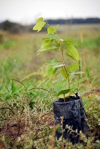 jatoba tree seedling