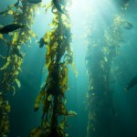 The Weight Loss Benefits of Kelp