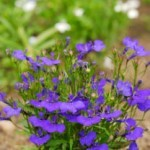 The Lung Cleansing Benefits of Lobelia