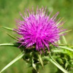 What Are the Benefits of Milk Thistle Seed?