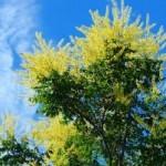 Health Benefits of the Mimosa Tree