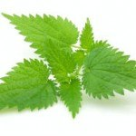 The Benefits of Stinging Nettle