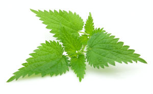 Studies have shown that the stinging nettle plant has many health benetifs including defense against harmful organisms and prostate health.