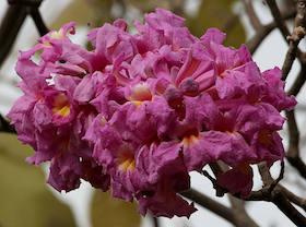 pau d'arco flower