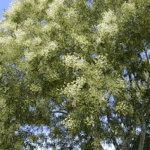 What is Sophora Japonica?