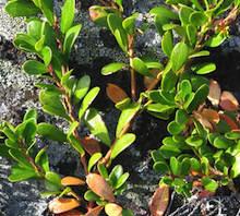uva-ursi plant
