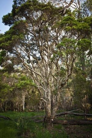 Tea tree growing on a plantation