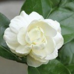 The Health Benefits of Jasmine Sambac