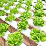 Aquaponics: How to Grow Your Own Food in Water