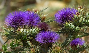 Milk thistle for liver support