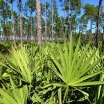 Saw Palmetto and Men's Health Benefits