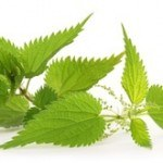 Stinging Nettle for Prostate Health