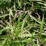 The Benefits of Smartweed (Polygonum hydropiperoides)