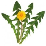 What Are the Benefits of Organic Dandelion Leaf