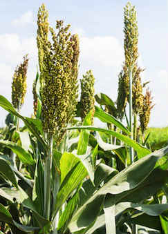 Millet growing in a field