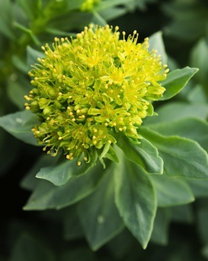 What are the Health Benefits of Rhodiola rosea?