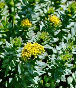 Rhodiola Rosea is the source of Salidroside
