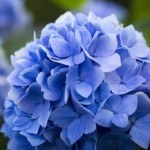 Hydrangea: A Pretty Flower with a Nutritional Punch