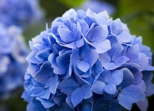 Hydrangea is thought to support kidney health