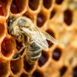 What Is Bee Propolis? 10 Great Uses
