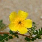 4 Benefits of Tribulus terrestris for Women
