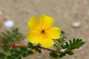 Yellow Flower of Tribulus Terrestris