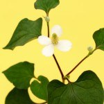 4 Health Benefits of Dokudami