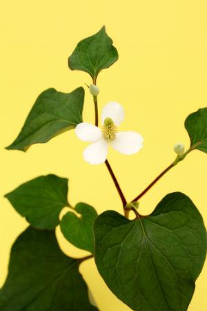benefits-of-dokudami