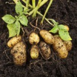 Something Innately Wrong about New GMO Potato – You Can Help!