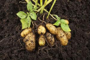 potatoes-in-soil