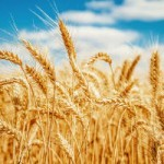 The Hidden Culprit Behind Wheat Sensitivity